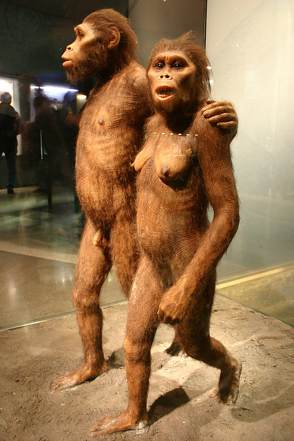 Model of Australopithecus. Source of image: www.flickr.com/photos/ideonexus/2956445602/in/photostream/