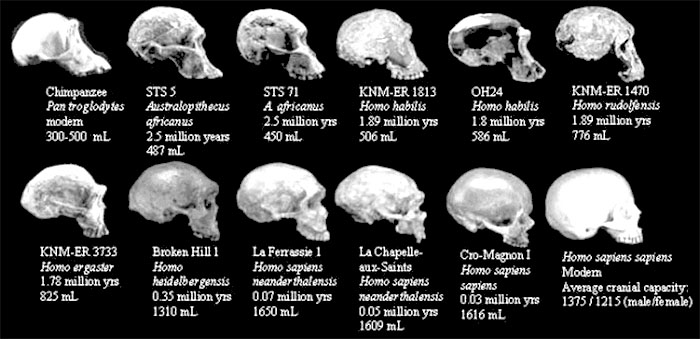 Prehistoric humans  - skull size comparation