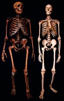 Reconstructed skeleton of the Neanderthal (left) and modern human (right).